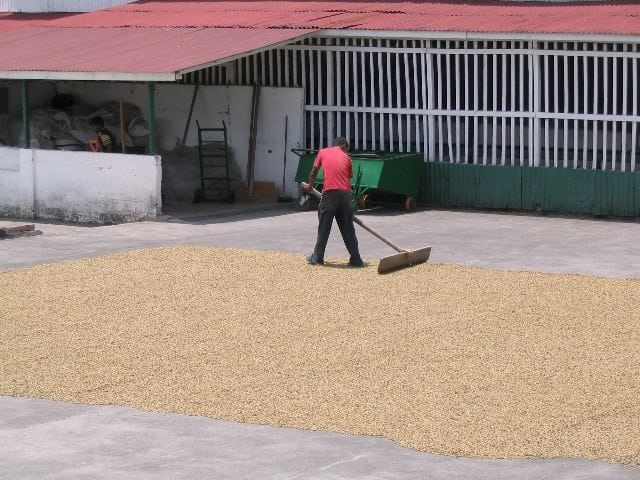 Coffee in parchment being raked and dried in the sun on the patio at Doka. Photo by Barth Anderson.
