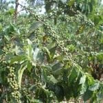Ripening green coffee cherry in Ruiru. Photo courtesy of Gordon Clark 2009.