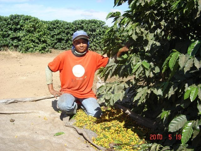 Picking ripe yellow cherry of the Yellow Catuai variety, 2010 harvest. Photo courtesy of Fernando Sinay.